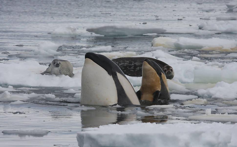 Orcas trabalham em grupo para capturar foca