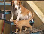 """O beagle bicolor é Flechinha e o gato é Raj. Segundo a dona Valeria Montes de São Paulo (SP), Flechinha é """"rápido e comilão, já roubou frios do balcão da cozinha e também um queijo inteiro! Mas é muito fofo e adora o nosso gato Raj"""""""