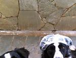 Jackie Stewart e Jim Clark são dois cães da raça border collie que vivem com Ricardo Iwakura em Bebedouro (SP). ?São muito serelepes, alegres, companheiros e cheios de energia! Passeio todos os dias com eles, de bicicleta?, diz Iwakura
