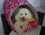 Mel é uma poodle de nove anos que vive com Carlos Alberto Maciel em Petrópolis (RJ). ?Ela adora que jogue uma bolinha para que ela traga de volta?, diz o dono
