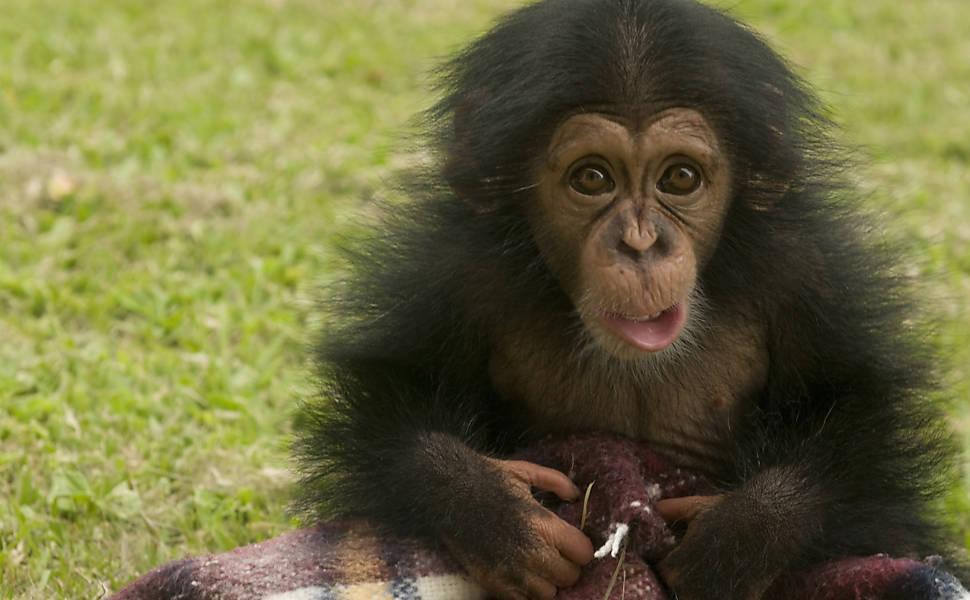 Chimpanzés em Sorocaba