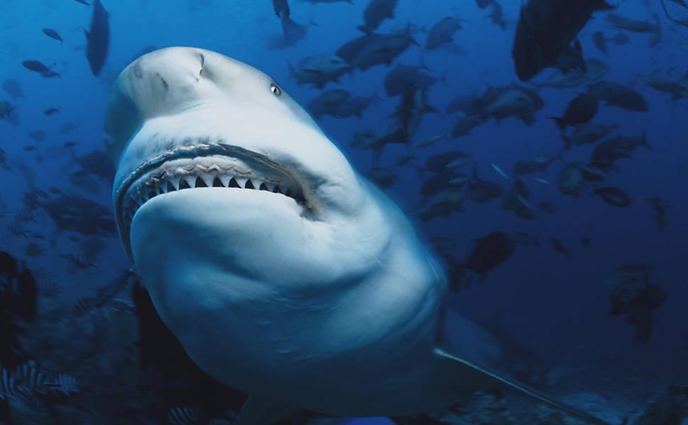 Para mergulhador, tubarões são dóceis