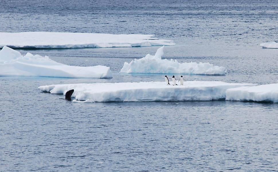 Pinguins fugindo de foca