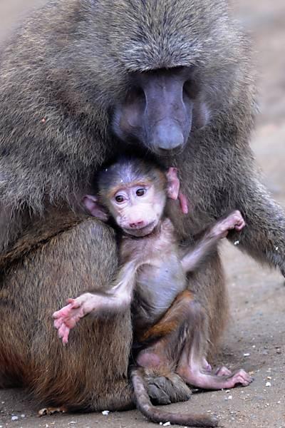 Filhote de babuíno com a mãe em zoológico na Alemanha