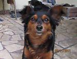 A cadela sem raça definida Mel, 4, é valente e está sempre pronta para proteger a casa, diz a dona Deise Martins, de São Paulo