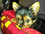 Tico é um yorkshire de cinco meses que não perde a hora. Ele puxa o cobertor e arranha a cama de seu dono, Robson Francisco dos Santos, de São Paulo, até que ele acorde