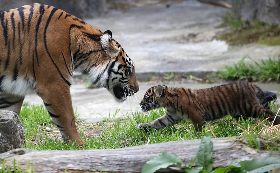 Filhote de tigre brinca em zoológico