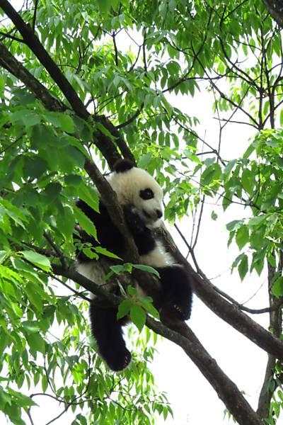 Pandas chineses ficam com medo após terremoto