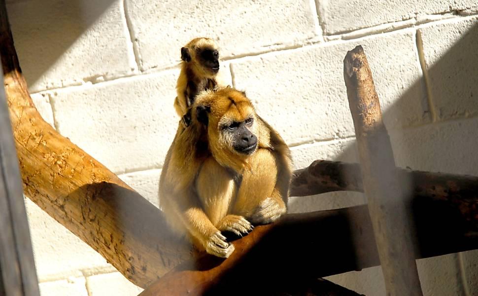 Zoo de SP recebe macacos ameaçados de extinção