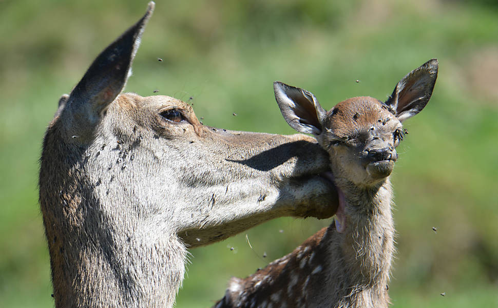 Fêmea de veado cuida de seu filhote