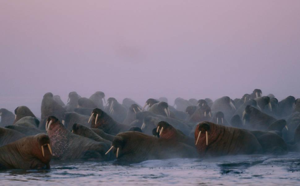 Derretimento do Ártico ameaça espécies