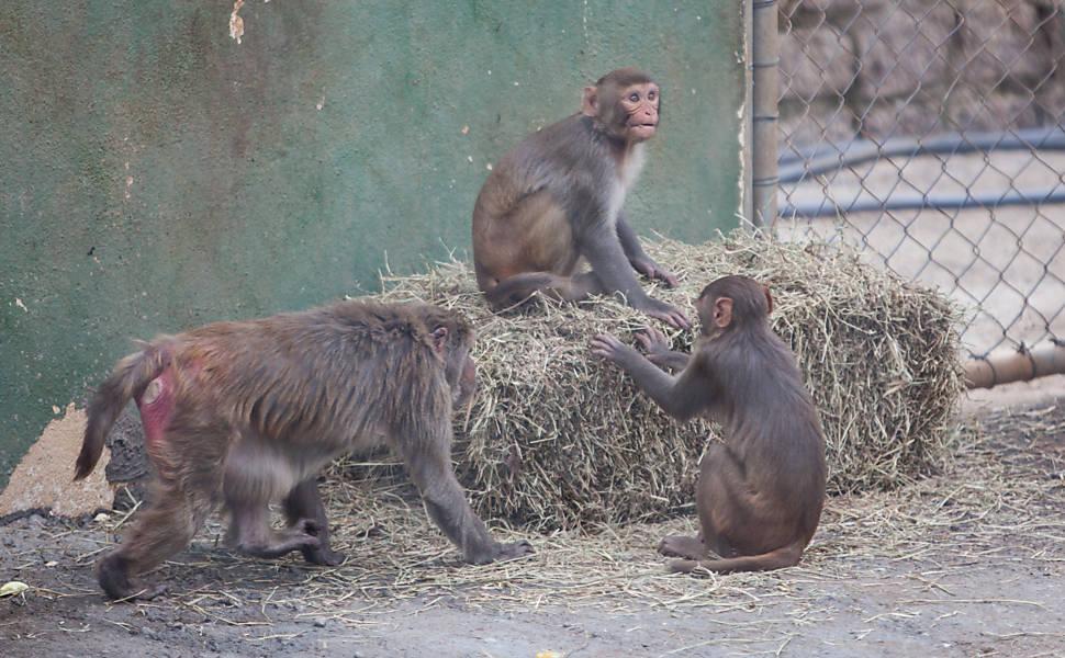 USP e Butantan testam vacina anti-HIV em macacos