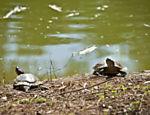 Tartaruga-tigre no lago do parque do Piqueri, no Tatuapé