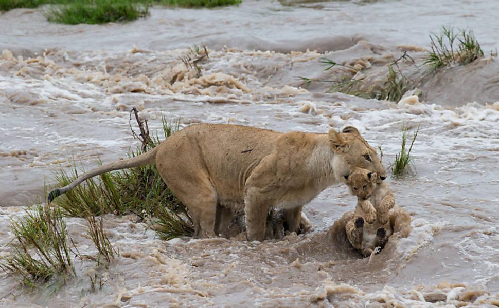 Leoa atravessa rio com filhote na boca