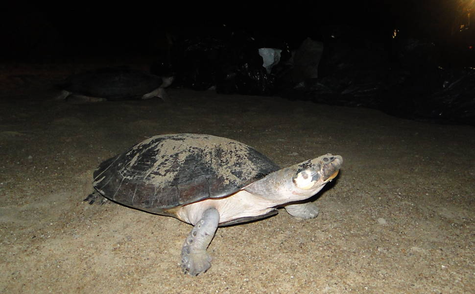 PF flagra comércio ilegal de tartarugas