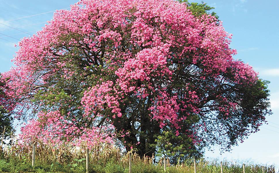 Árvores rosas de São Paulo