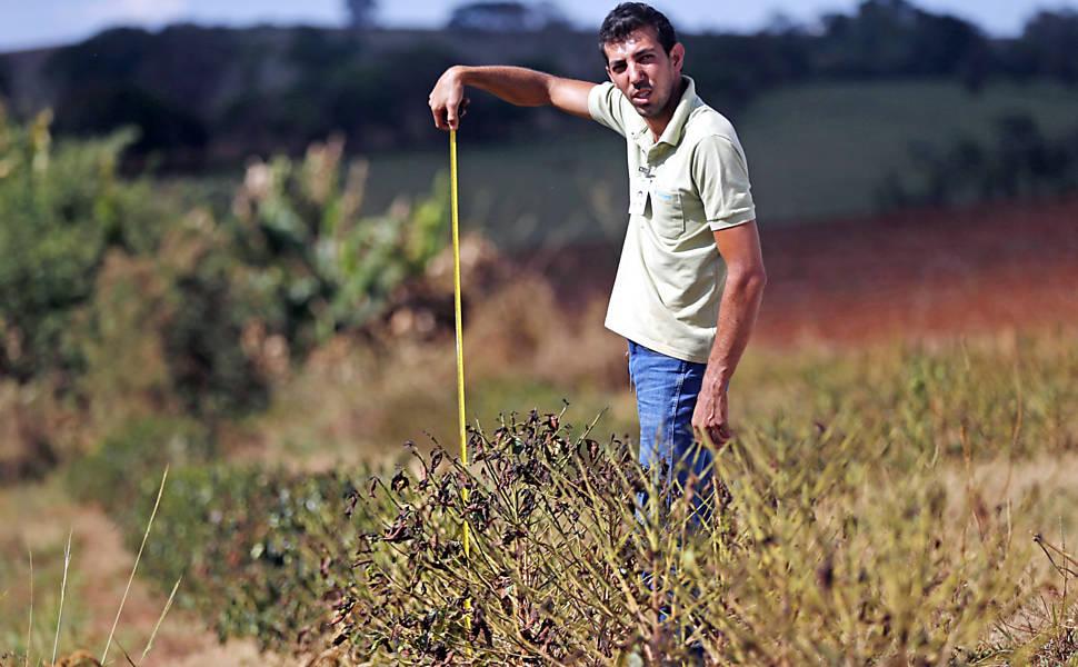 Estiagem afeta cafeicultura em Minas