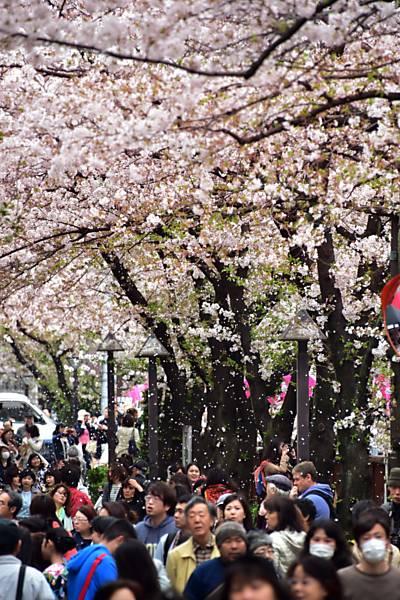 Cerejeiras em flor encantam turistas no Japão