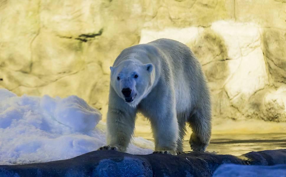 Veja imagens dos ursos polares do Aquário de SP