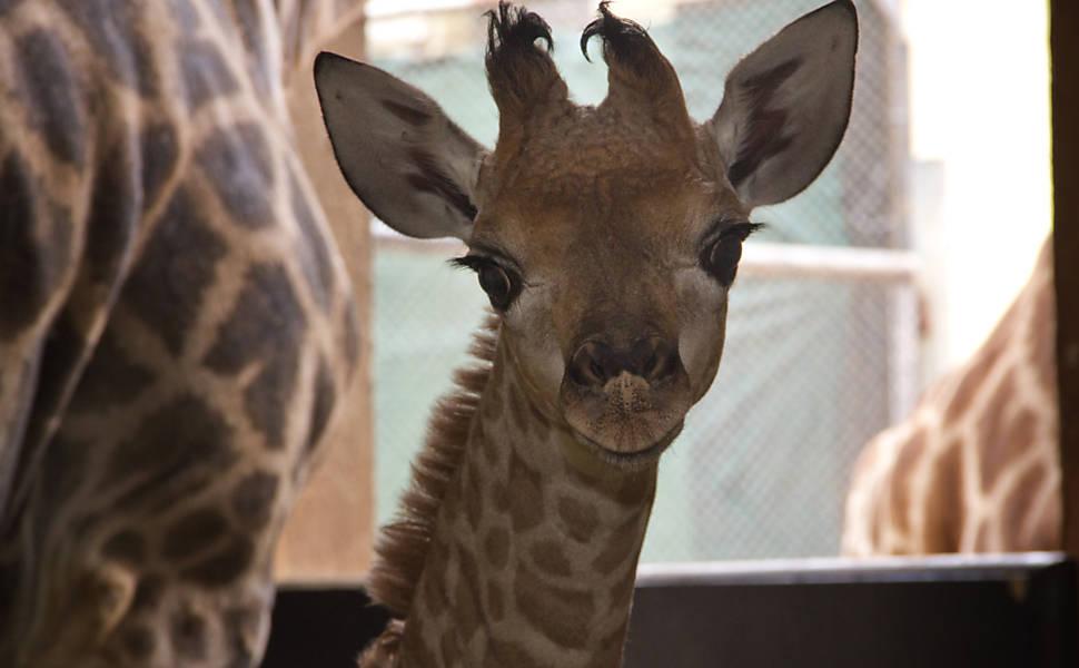 Girafinha do Zoo de SP