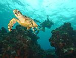 Tartaruga-marinha no mar de Fernando de Noronha, bom destino para mergulhar o ano inteiro