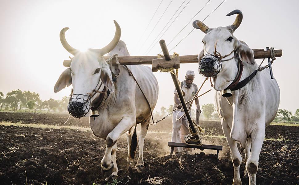 Veto ao abate de touros irrita agricultores indianos