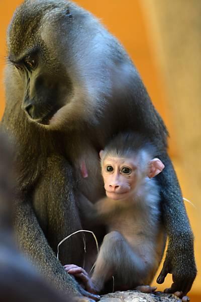 Bebê macaco no colo da mãe