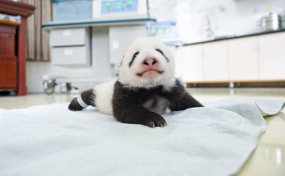 Filhotes de panda