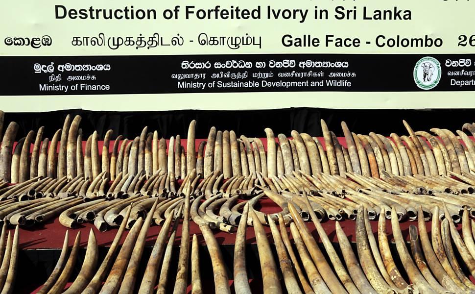 Marfim no Sri Lanka