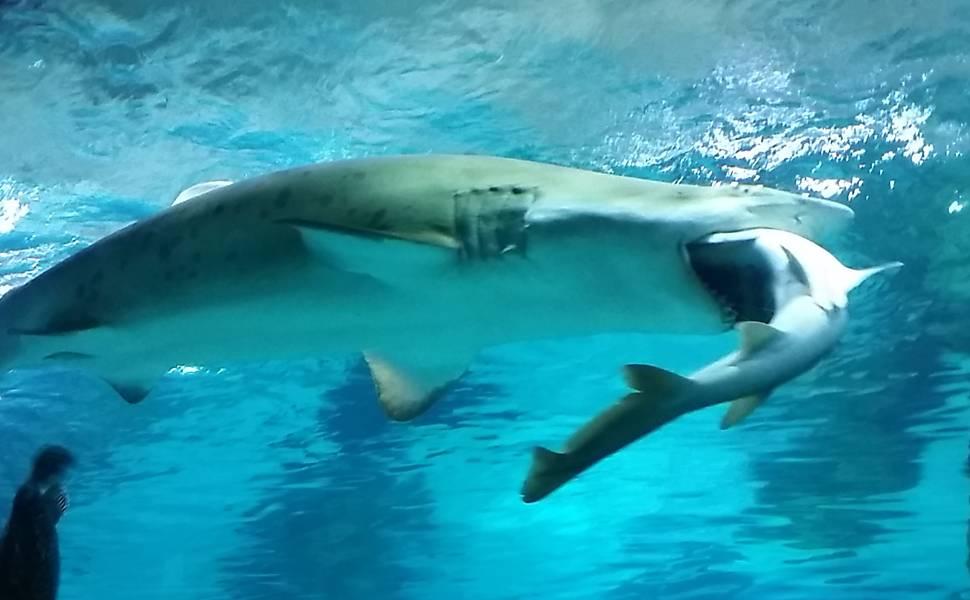 Tubarão canibal