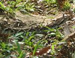 Trilha auto-guiada pode reservar algumas surpresas: como uma cobra urutu
