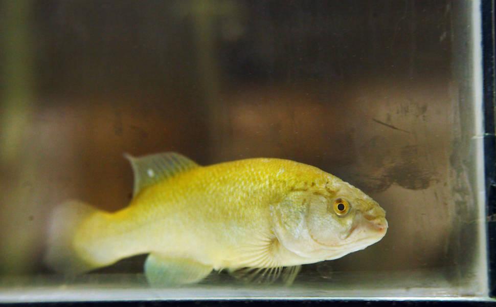 "Peixes nascidos de ""barriga de aluguel"""