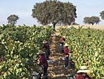 Trabalhadores na vindima, a colheita das uvas, na vinícola Herdade da Malhadinha, no Alentejo