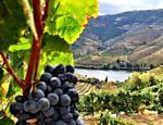 Parreira na vinícola Vargellas, da Taylor's, no Douro