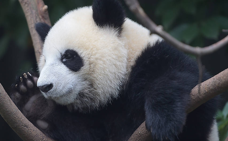 A diplomacia dos pandas