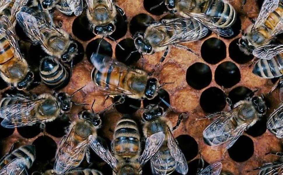 Abelhas e a superinteligência humana