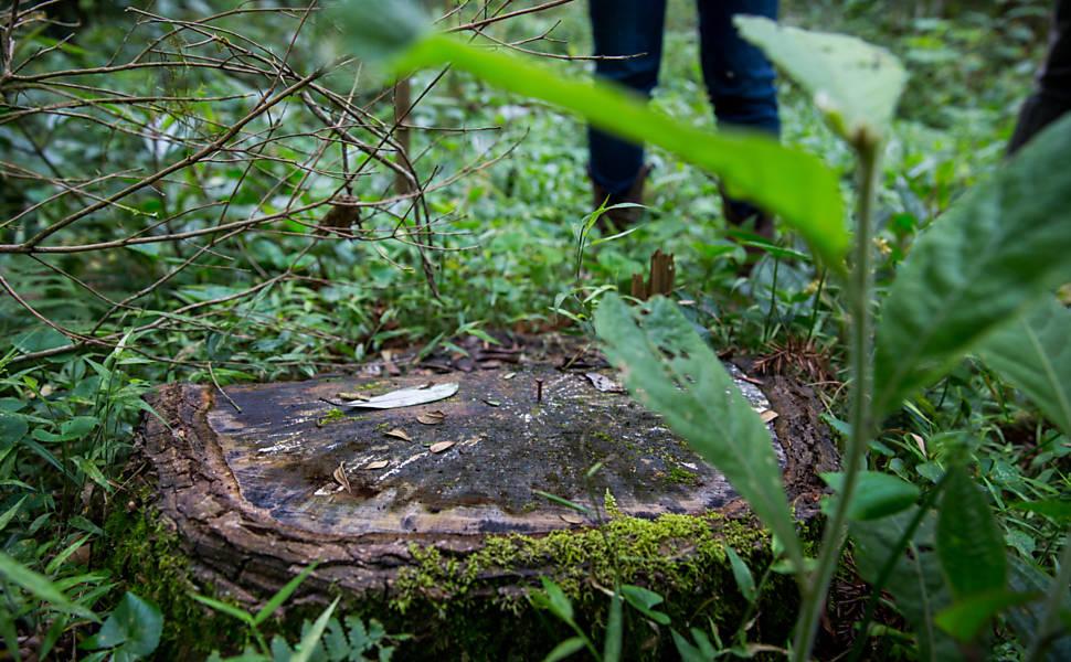 Pesquisadores da Unicentro receberam uma autorização para cortar araucárias numa pesquisa em pequenas propriedades rurais