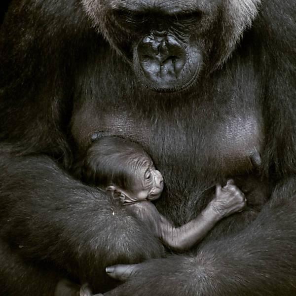 Bebê Gorila