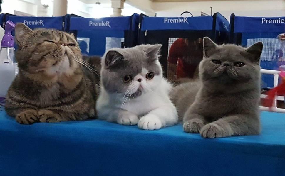 Exposição de gatos acontece neste fim de semana em São Paulo