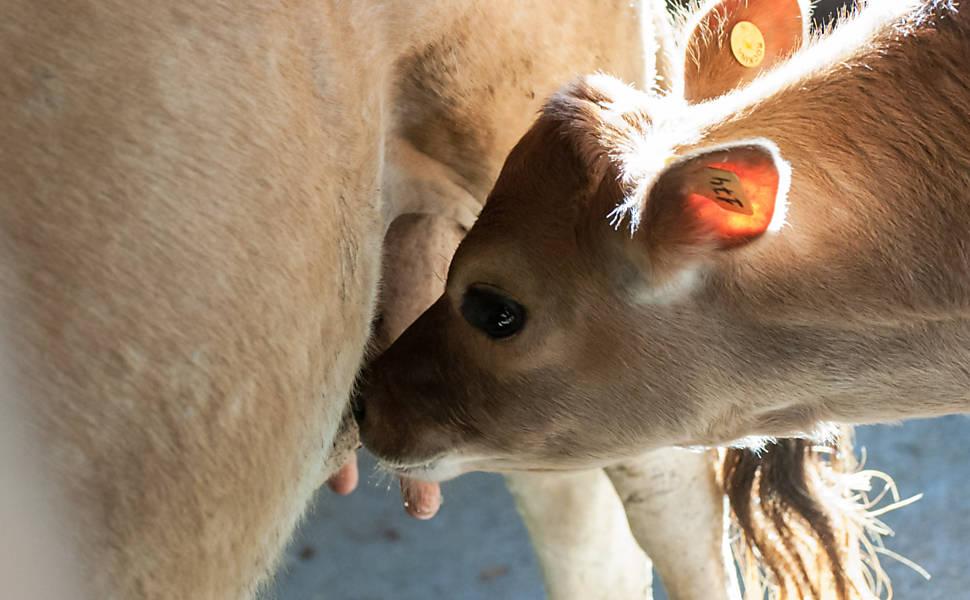 Produção de leite orgânico em Pinhais (PR)