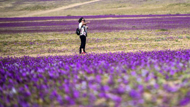 Plantas florescem no deserto de Atacama, na região de Copiapo, cerca de 800 km ao norte de Santiago, capital do Chile