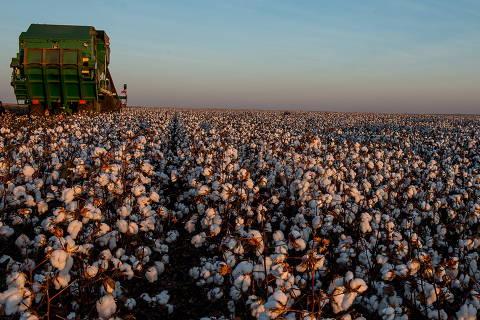 CAMPO VERDE, MT, 17.07.2017: AGRICULTURA-MT - Colheita de safra recorde de algodão em Campo Verde (MT). (Foto: José Medeiros/Folhapress)