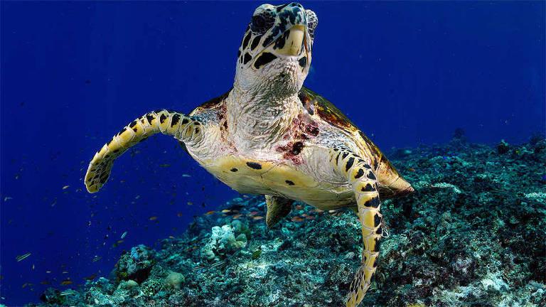 Quando não estão se alimentando, as tartarugas-verdes passam a maior parte do tempo descansando ou dormindo no fundo