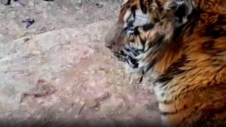 Tigre resgatado de ruínas da guerra na Síria