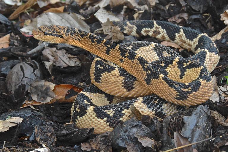 Serpente _Lachesis muta_, também conhecida como surucucu