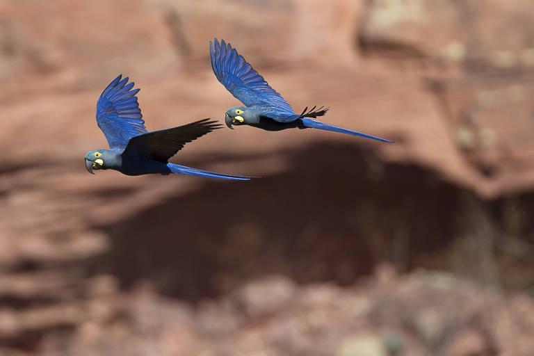 _Anodorhynchus leari_ ou arara-azul-de-lear