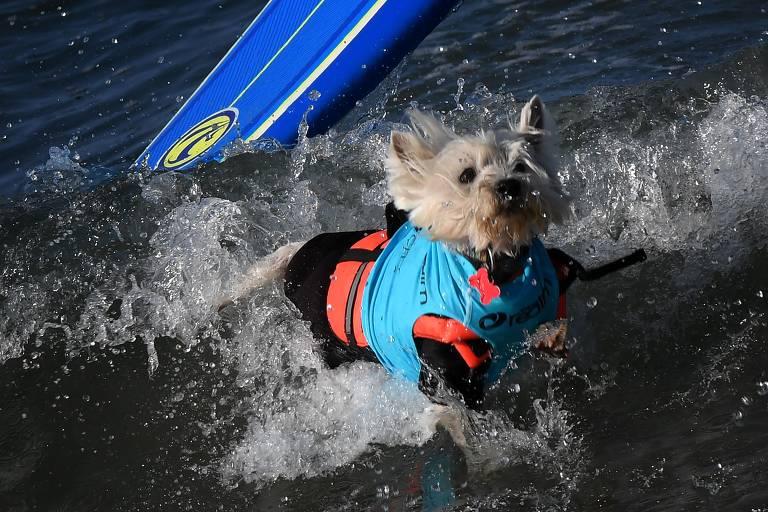 Campeonato de surfe de cachorros