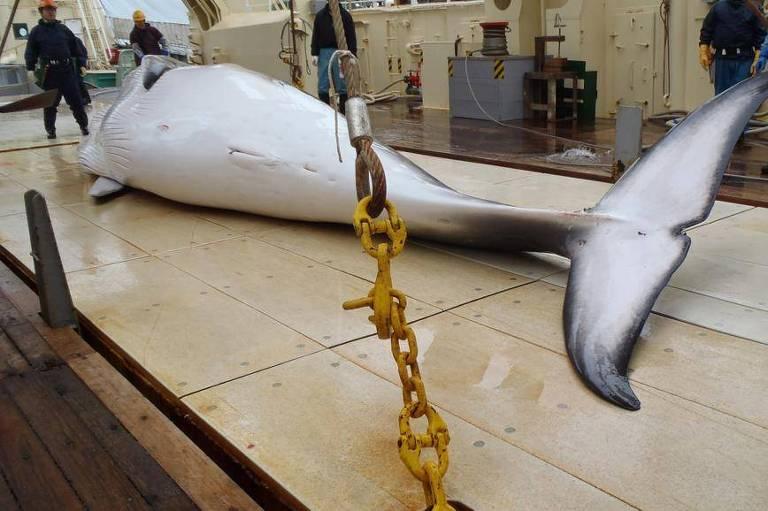 Baleia minke no convés de um navio baleeiro para pesquisa no oceano Antártico