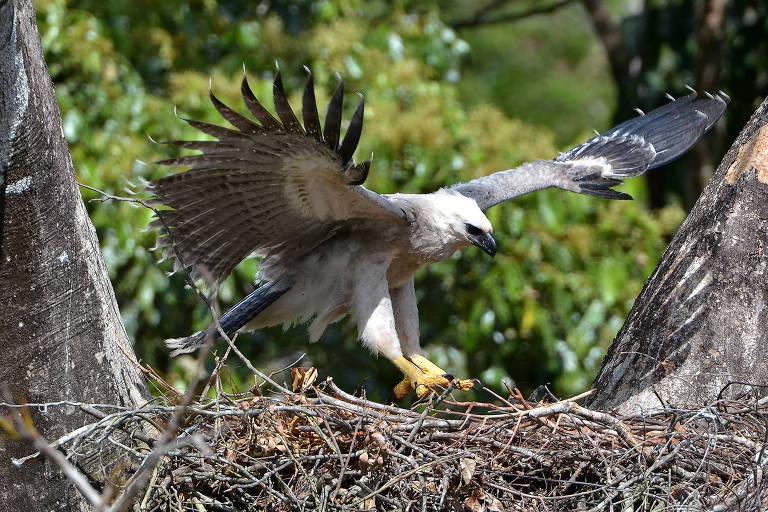 Gavião-real, também conhecido como harpia, se aproxima de ninho em Alta Floresta, no Mato Grosso