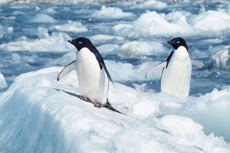 Pinguins-de-adélia se equilibram sobre gelo na Antártica
